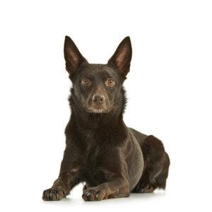 portret, portrait, Kim, hond, Kelpie,
